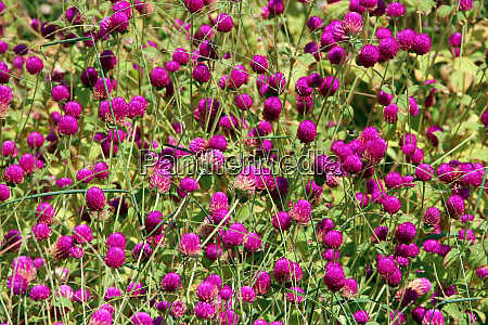 flowers of red clover in summer