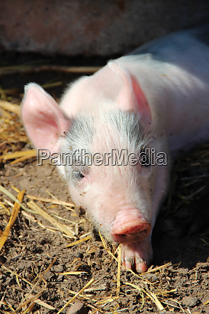 pink piglet basking in sun muzzle