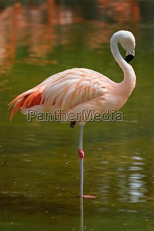 chilean flamingo phoenicopterus chilensis bird