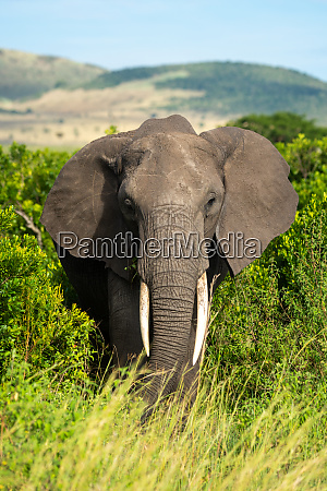 african elephant stands watching camera from