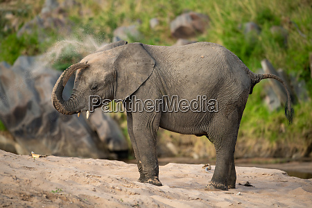 african elephant takes sand bath on
