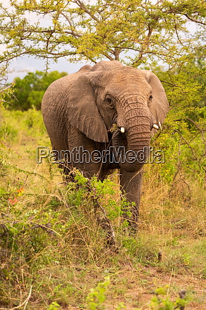 african elephant eats thorny branch under