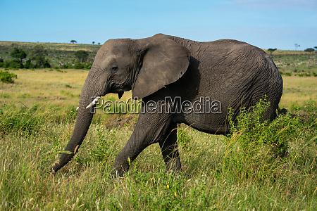 african elephant walks past bush in