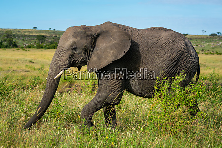 african elephant walks past bush on