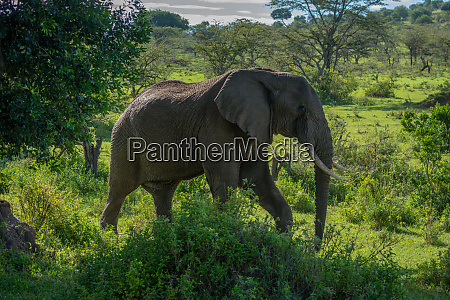 african elephant walks past bushes on