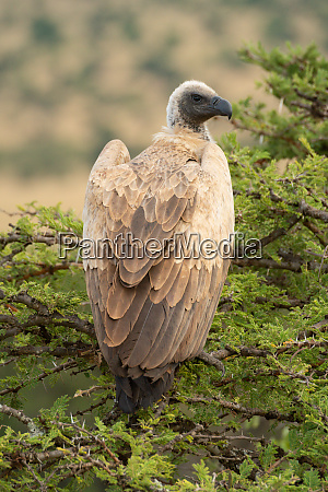 african white backed vulture in thornbush