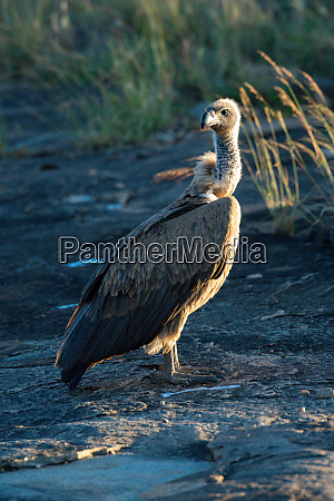 african white backed vulture on rock