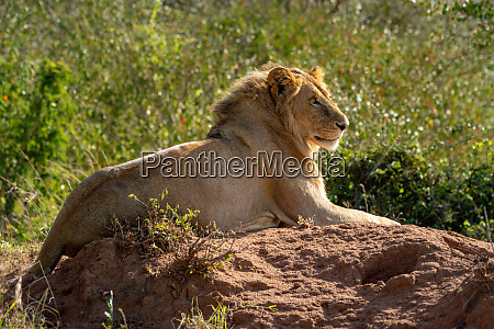 backlit male lion lying on termite