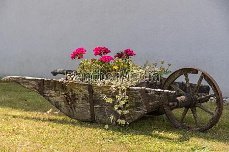 planted old wooden wheelbarrow