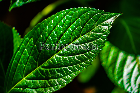 green leaves of hardwood image