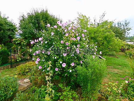 a shrub with flowers of azalea