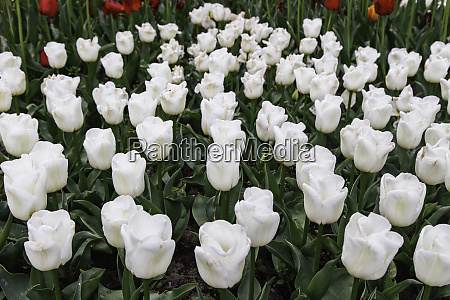white tulips in the flowerbed