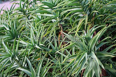 stripe stemmed aloe plant