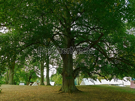 linden trees on the castle hill