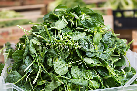fresh green spinach at the farmers