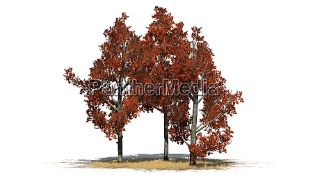 red maple tree in fall isolated