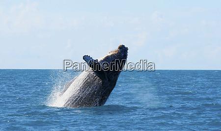 humpback whale in southern bahia