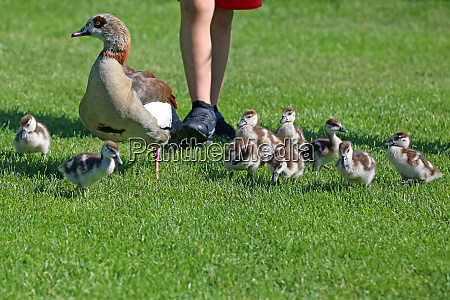little frightening nilgans alopochen aegyptiacus with