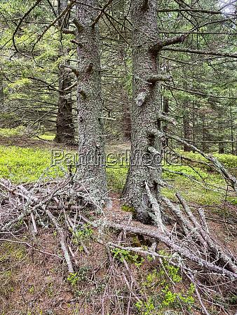 mystic spruce tree