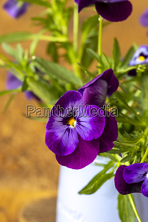 pansy flowers in a vase on