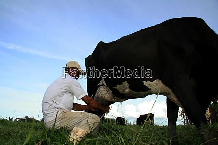 manual milking in a farm in