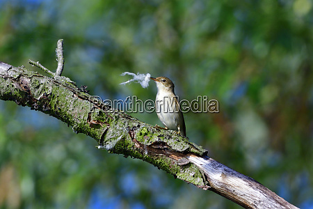 eurasian reed warbler in the reed