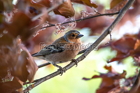 chaffinch on a branch in beech