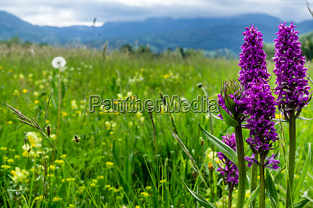flower meadow in the alpine upland