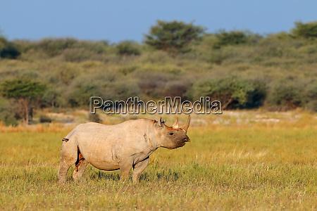 black rhinoceros in natural habitat