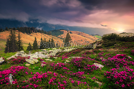 amazing place with pink rhododendron flowers