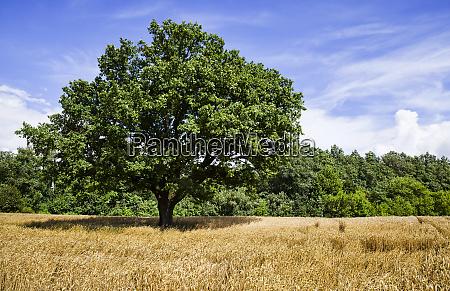 oak lonely growing