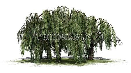 weeping willow tree cluster isolated