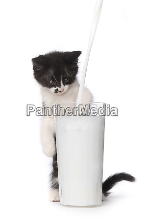 cute kitten watching milk pour into