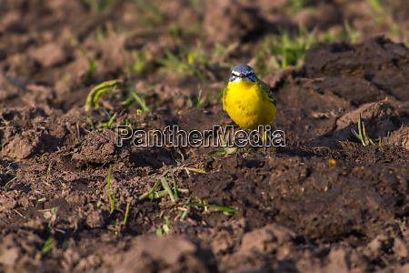western yellow wagtail motacilla flava