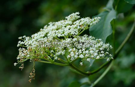 white elderflowers close up