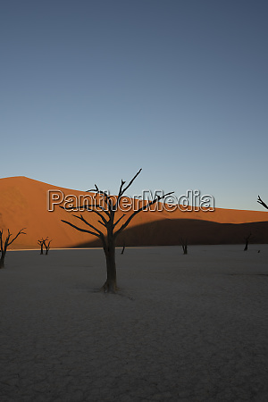 dead camelthorn trees sitting in a