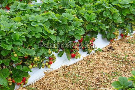 strawberry plants with red fruits