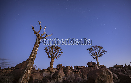 quivertrees are unique to namibiaq