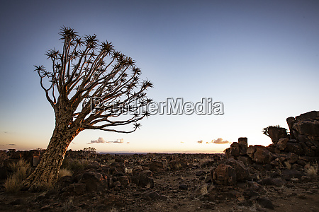 quivertrees are unique to namibia