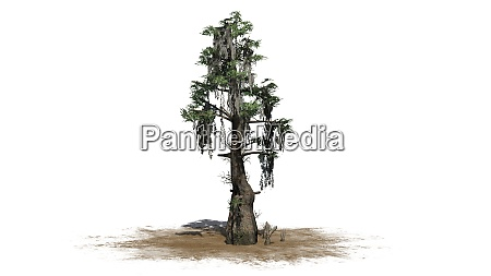 bald cypress tree isolated on