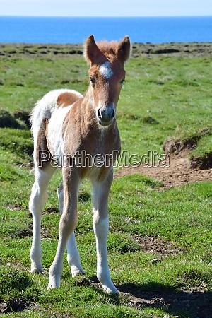 cute icelandic pinto foal iceland