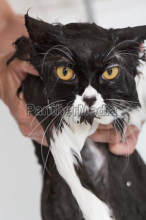 bathing a cat