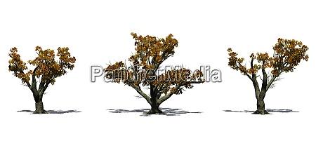 set of big leaf maple trees
