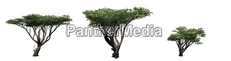 set of acacia trees isolated