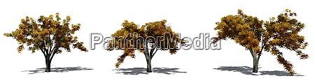 set of american elm trees in