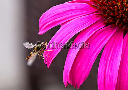 hoverfly on echinacea petal sonnenhut