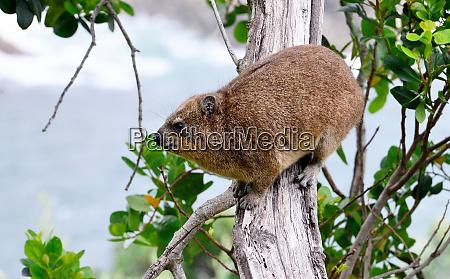 rock hyrax tsitsikamma national park