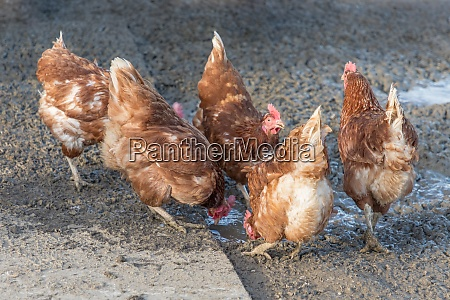 brown chickens live outdoors at bio
