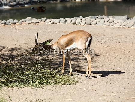 gemsbok antelope or oryx gazella in