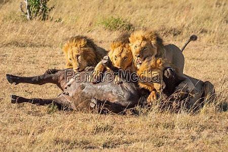 four male lions feed on buffalo